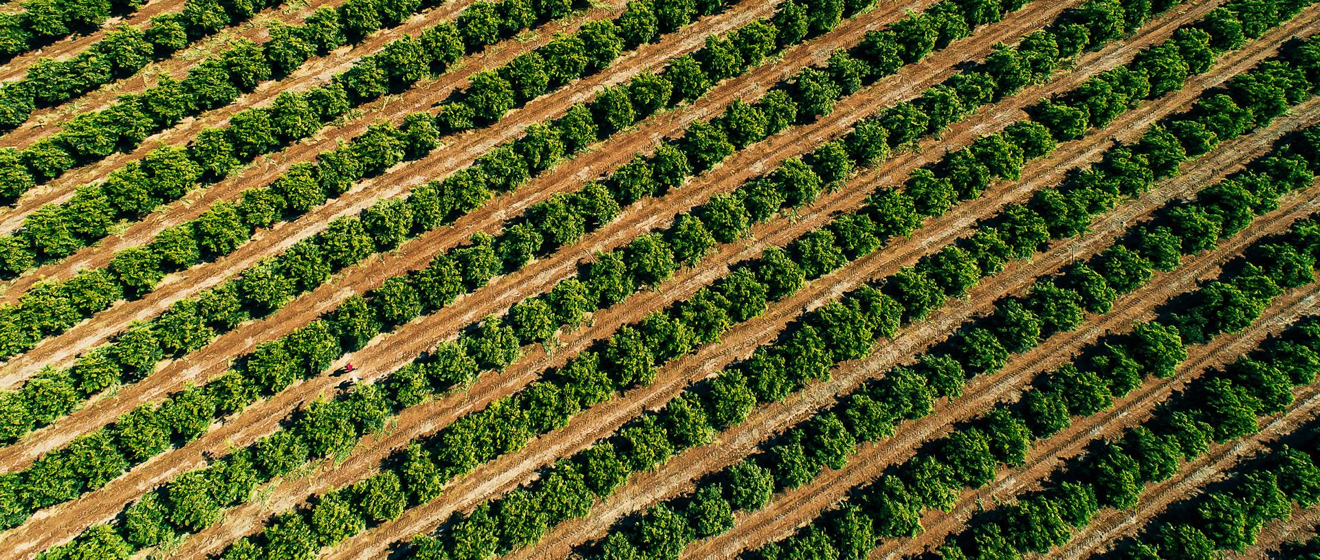 rows of orange trees